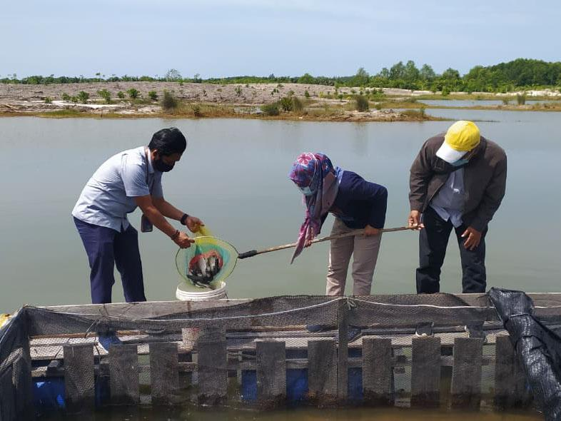 Dibina PT Timah, Kelompok Lingkungan Bangka Hijau Panen Kakap Putih 300 Kg