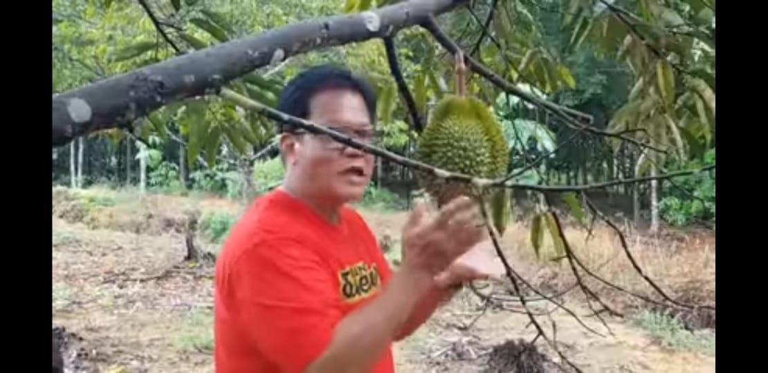 Super Tembaga Kelamunot, Rajanya Durian Asal Bangka Belitung