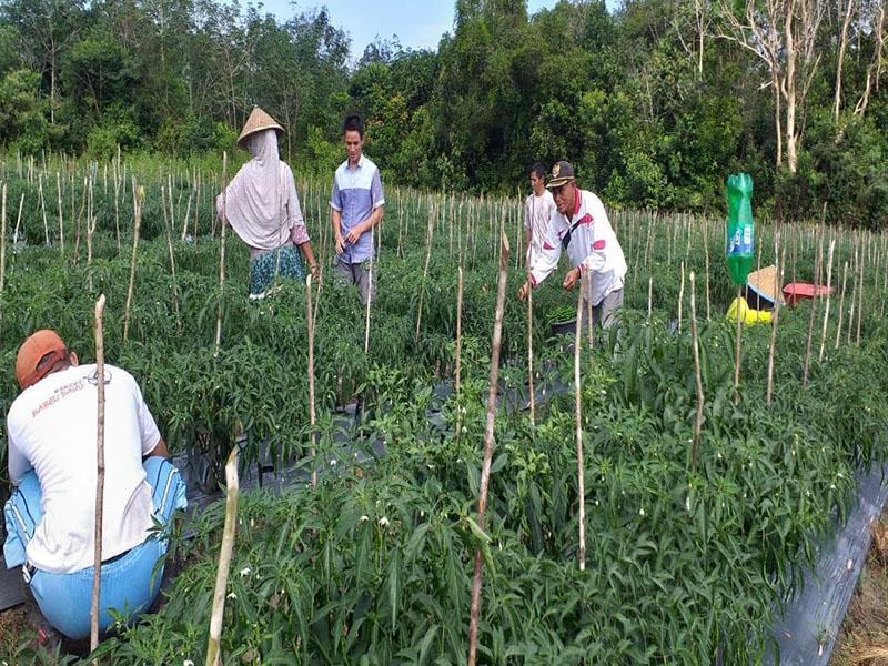 Manfaatkan Pos Anggaran Pemberdayaan, Desa Tanah Bawah Lakukan Panen Cabai