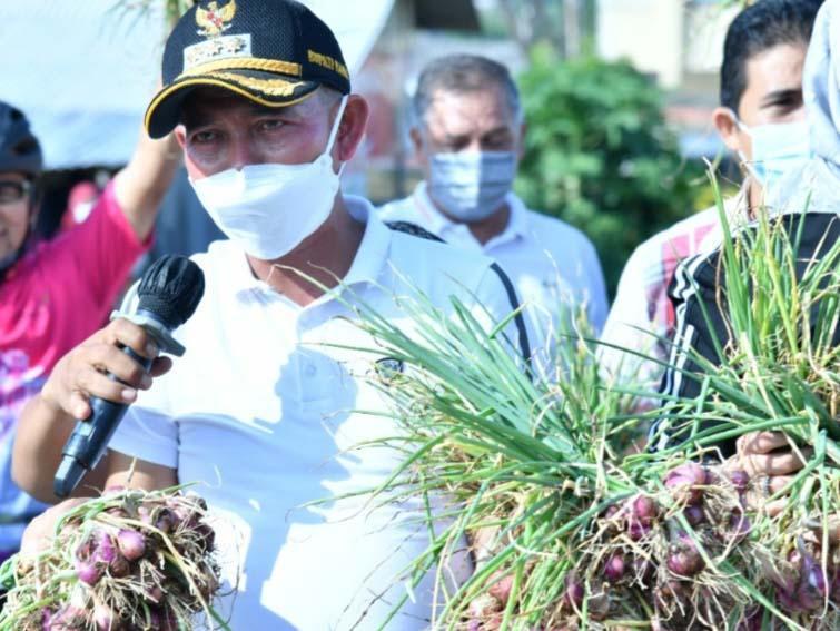 Panen Bawang Merah, Bupati Mulkan Dorong Komoditas Pertanian di Kabupaten Bangka