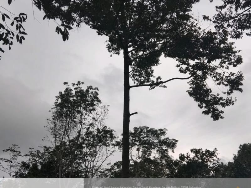 Durian asal Desa Pusuk terkenal lezat dan sudah cukup terkenal di seantero Pulau Bangka, Jedurian asal Desa Pusuk terkenal lezat dan sudah cukup terkenal di seantero Pulau Bangka, jenis Durian yang terkenal di sini dinamakan durian Si BT (Bukit Tutoh) yang pada saat kontes durian yang diselenggarakan oleh Provinsi Babel tahun lalu berhasil meraih Juara Harapan Kedua. (Ist)