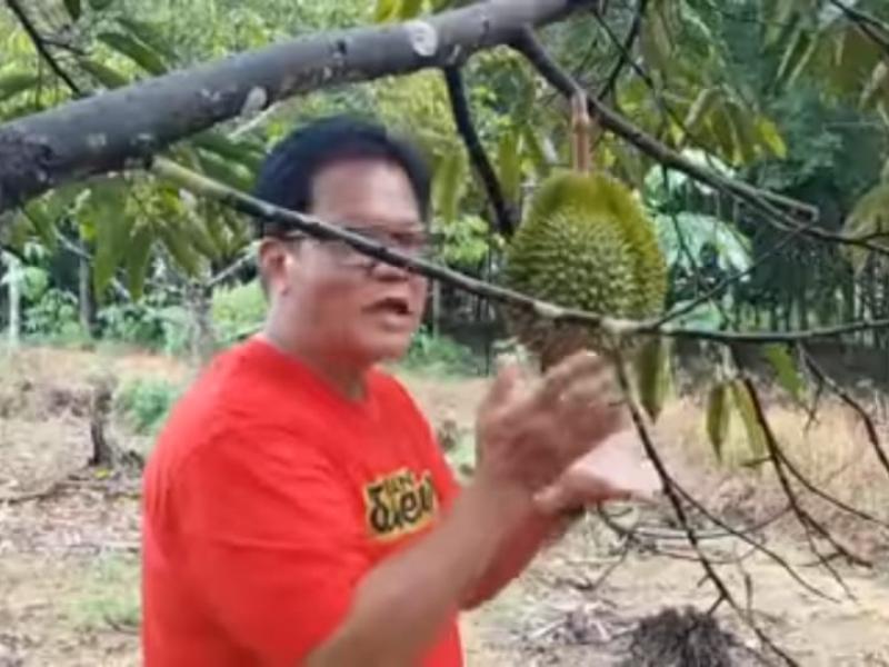 Dokter Ase Adrianto sedang memeriksa Durian Super Tembaga Bangka Kelamunot di kebun miliknya di Desa Penagan Kabupaten Bangka Provinsi Bangka Belitung, Sabtu (4/7/2020). (ichsan/babelreview).