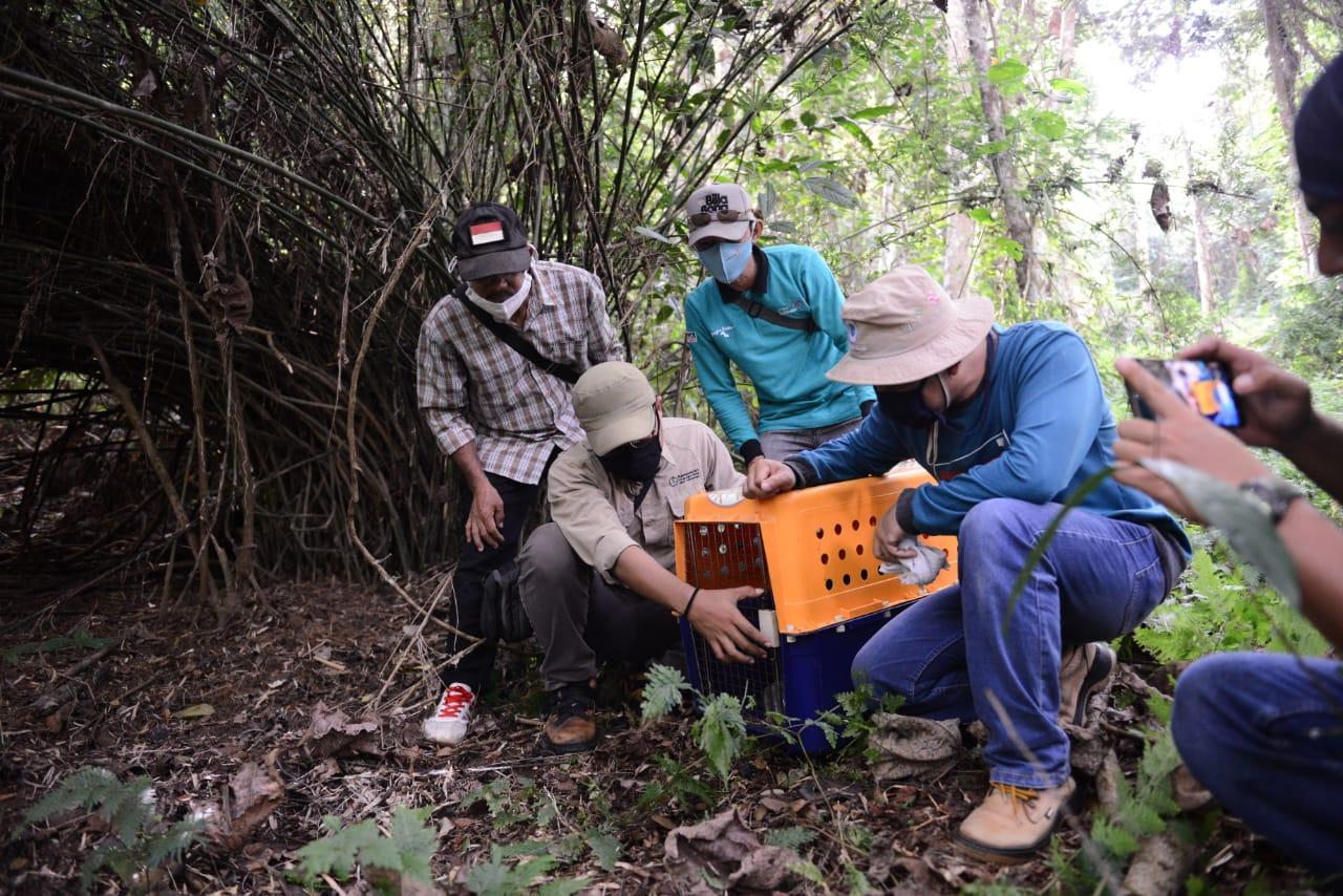 PT Timah Bersama Alobi Lepas Liarkan Satwa Langka Endemik Babel di Hutan Konservasi