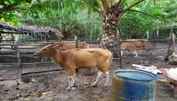 Bantuan Sapi dari CSR PT. Koba Tin Terlihat Kecil dan Kurus, Begini Penjelasan Dinas Pertanian Bateng