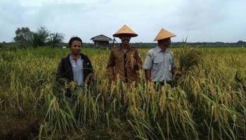 Produksi Beras Merah Khas Desa Tuik Tembus 500 Ton per Tahun