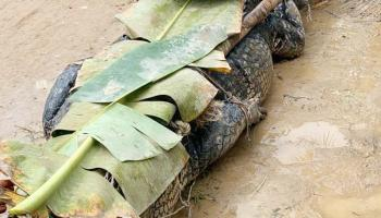 Bukan Penghuni Asli Sungai Pangkalraya, Buaya Raksasa Sering Memakan Korban
