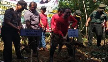 Bupati Mulkan Panen Ubi Kasesa di Desa Saing