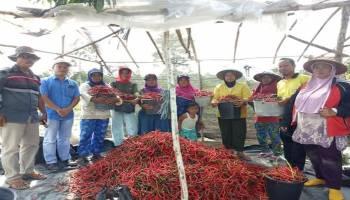 Desa Lubuk Pabrik Panen Cabai 1,5 Ton