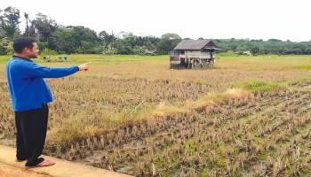 Desa Tanah Bawah Andalkan Ubi,Padi,dan Sawit
