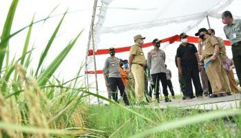 Dijadwalkan Presiden Jokowi Kunjungi Sawah Desa Rias