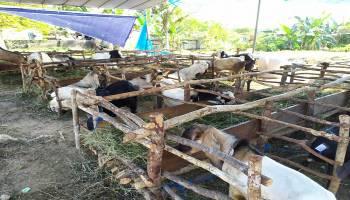 Dinas Pertanian Bateng Siapkan Petugas Kesehatan Hewan Kurban