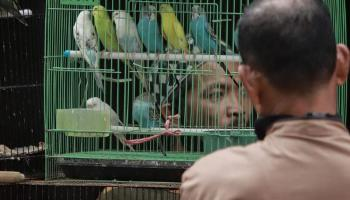 FOTO Mengintip Hiruk Pikuk Pasar Burung Jalan Trem (Part 2)