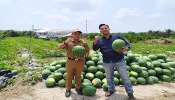 Gali Potensi Pertanian, Pemdes Lubukpabrik Targetkan Produksi Semangka Capai 300 Ton/Tahun