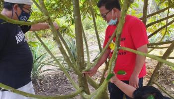 Gubernur Erzaldi Ajak Masyarakat Nanam Durian Super Tembaga Kelamunod