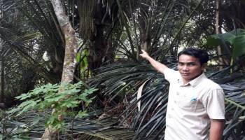 Gula Aren Desa Sungkap Produk Alami yang Masih Tradisional (2)