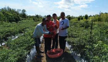Harap Bantuan Pemerintah, Petani KSAT Binaan Dinas Pertanian Bangka Keluhkan Turunnya Harga Cabai