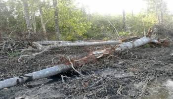 Hutan Mangrove Merbau Dibantai Alat Berat