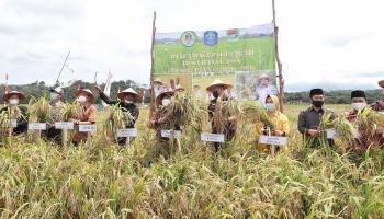 Ketua DPRD Bangka Hadiri Panen Raya Padi di Desa Banyuasin