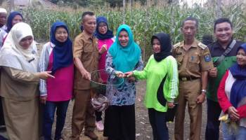 KWT Desa Sarang Mandi Panen Demplot Jagung Manis dan Lele