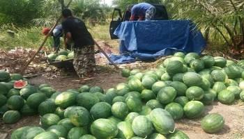 Manfaatkan ADD untuk Sektor Pertanian, Desa Lubuk Pabrik Panen Cabai dan Semangka