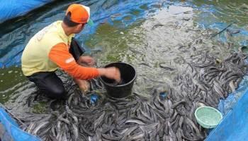 Pangkalpinang Penghasil Ikan Budidaya Tertinggi se Bangka Belitung