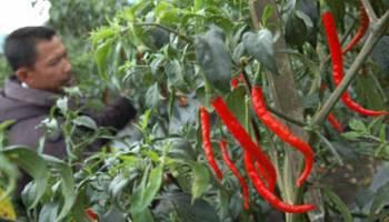 Pemkab Bangka Tengah Siapkan Lahan Cabai 102 Hektare