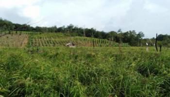 Petani Desa Bukit Layang Kembangkan Padi Gogo