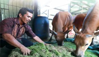 Poktan Tunas Baru Terapkan Sistem Integrasi Tanaman Ternak (SITT) Sapi Sawit