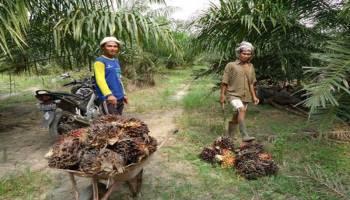 Potensi Unggulan Sektor Pertanian Desa Celuak