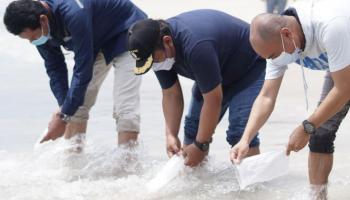 PT Timah Lepas Ratusan Anakan Cumi di Pantai Tikus Emas
