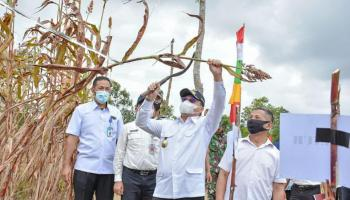 Ratusan Masyarakat Iringi Gubernur Panen Sorgum di Sungailiat