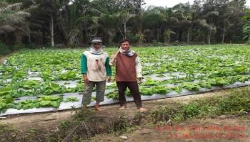 Sawi Thailand Desa Jelutung Bisa Panen Hingga 100 Kilogram Per Hari