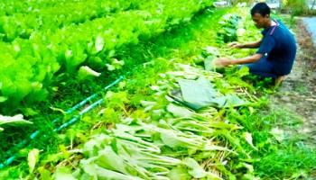 Setia Bertani Di tengah Harga yang Fluktuatif