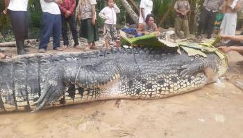 Suka Ganggu Orang Mancing, Warga Dusun Pangkalraya Tangkap Buaya Sepanjang 5 Meter
