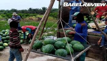 VIDEO Optimalisasi Dana APBDes, Pemdes Lubuk Pabrik gelar panen semangka ke 4 tahun 2019
