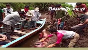 VIDEO Proses Evakuasi Bangkai Pesut atau Lumba-lumba Air Tawar di Sungai Upang Bangka