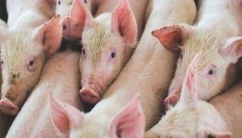 Waspadai Masuknya Virus Demam Babi Afrika, Dinas Peternakan Bateng Terbitkan Surat Edaran