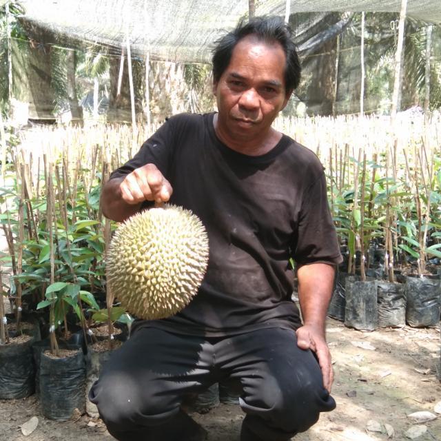 Super Tembaga Bangka Kelamunot, Durian Termahal Yang Tak Sengaja Ditanam