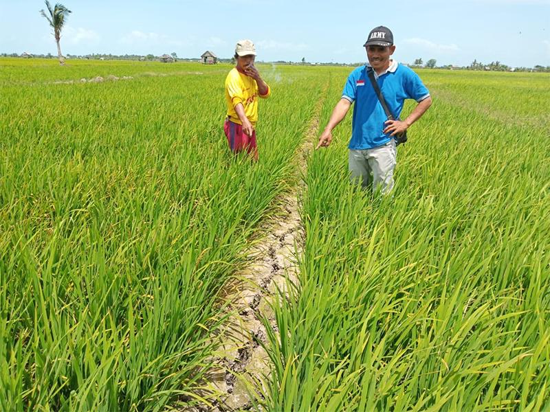 Tolooong! 400 Hektar Sawah Desa Rias Kritis
