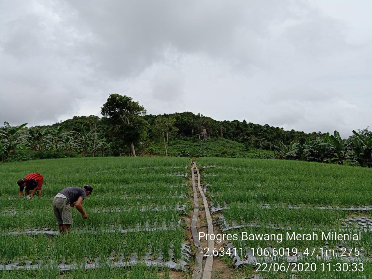 Wujudkan Desa Lubuk Pabrik Sebagai Sentra Holtikultura, Penyuluh Pertanian Bersama Pemdes Fokus Giat Pembinaan Poktan